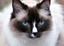 Ragdoll. Right in the blue eyes of Ragdoll cat Stock Photos