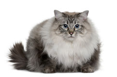 Ragdoll (2 years old) Royalty Free Stock Photography