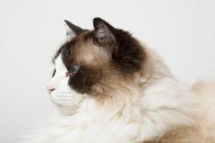 猫暹罗语配置文件的ragdoll 库存图片