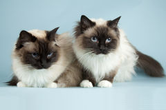Ragdoll. Cat on blue background royalty free stock photos