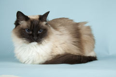 Ragdoll. Cat on blue background stock images