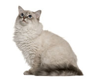 Ragdoll (6 months old) Royalty Free Stock Photo