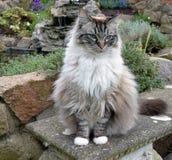Ragdoll猫 免版税库存图片