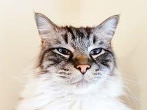 Ragdoll adult cat portrait. Seal coloured lynx tabby Ragdoll cat portrait Royalty Free Stock Photography
