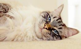 Ragdoll adult cat Stock Photo