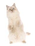 Ragdoll auf Hinterfahrwerkbeinen, auf weißem Hintergrund Lizenzfreie Stockfotografie