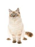 Ragdoll auf weißem Hintergrund Lizenzfreies Stockfoto