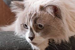 Ragdoll avel av kattframsidan Arkivbild