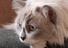 Ragdoll avel av kattframsidan Royaltyfri Foto