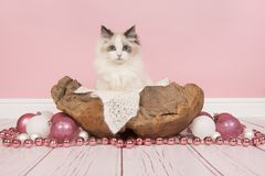 Ragdoll baby cat with blue eyes in a wooden basket surrounded wi Stock Photo