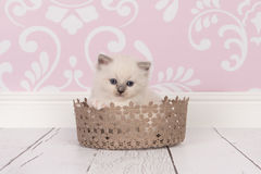 Ragdoll baby cat in lace basket. Ragdoll baby cat kitten with blue eyes in a lace brown basket in a living room environment royalty free stock photo