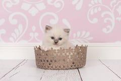 Ragdoll behandla som ett barn katten snör åt in korgen Royaltyfri Foto