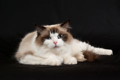 Ragdoll bi-color on black velvet. Ragdoll seal bi-color on black velvet Royalty Free Stock Images