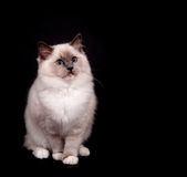 Ragdoll on black background Royalty Free Stock Images