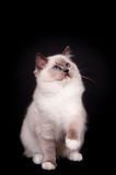 Ragdoll on black background Stock Photography