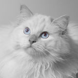Ragdoll in black and white. With blue eyes Stock Images