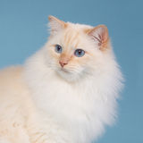 Ragdoll with blue background. Creampoint ragdoll with blue background Royalty Free Stock Photos