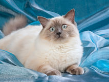 Ragdoll blue point cat Stock Photo