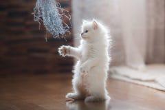 Ragdoll blue point kitten Stock Images