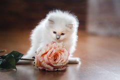 Ragdoll blue point kitten Stock Images