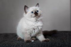 Ragdoll blue point little kitten Stock Images