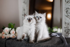 Ragdoll blue point little kitten Royalty Free Stock Image