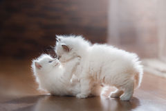 Ragdoll blue point two little kittens Royalty Free Stock Photo
