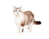 Ragdoll bonito Cat Standing Imagens de Stock Royalty Free
