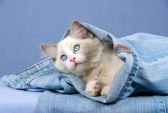 Ragdoll bonito que se sienta dentro de la mezclilla del dril de algodón Foto de archivo