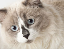 Ragdoll breed of cat. Face close-up Stock Images