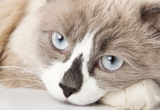Ragdoll breed of cat. Face close-up Stock Photography