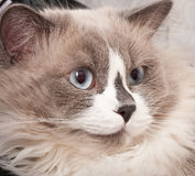 Ragdoll  cat Stock Image