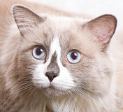Ragdoll breed of cat face Stock Photos