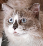 Ragdoll breed of cat face. Close-up Stock Photography