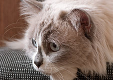 Ragdoll breed of cat face Royalty Free Stock Photo