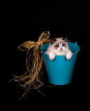 Ragdoll in a bucket on black Stock Photography