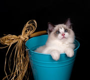 Ragdoll in a bucket on black Royalty Free Stock Photography