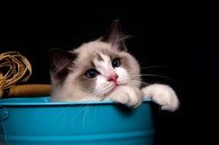 Ragdoll in a bucket on black Stock Photos