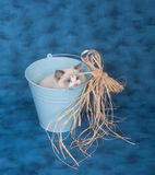 Ragdoll in a bucket on blue Stock Images