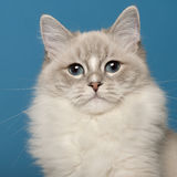 Ragdoll cat, 1 year old, in front of blue Stock Photos