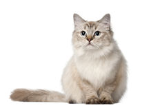 Ragdoll cat, 10 months old, sitting Royalty Free Stock Photography