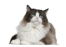 Ragdoll cat. Sitting in front of white background Stock Images