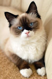 Ragdoll cat. With unusual light coat and ice blue eyes royalty free stock image