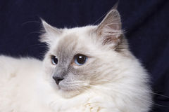 Ragdoll cat. A portrait of a ragdoll cat Royalty Free Stock Photos