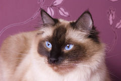 Ragdoll cat. A portrait of a ragdoll cat on a pink background Stock Photos