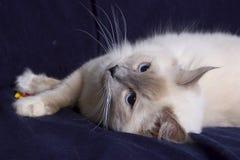Ragdoll cat Royalty Free Stock Photography