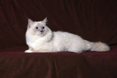 Ragdoll cat. A portrait of a ragdoll cat on a dark background Royalty Free Stock Photography