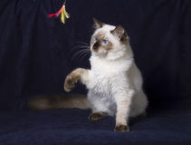Ragdoll cat Royalty Free Stock Photos