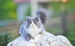 Ragdoll cat. Sit on stone in garden stock photography