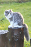 Ragdoll cat. Beautiful  Ragdoll cat sit in garden Royalty Free Stock Photography
